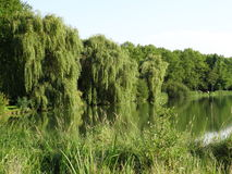 Weeping willows along the waterside. Weeping willows, Salix, and other trees standing along the waterside Stock Image