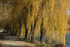 Weeping willows in the autumn. By the lake royalty free stock photos