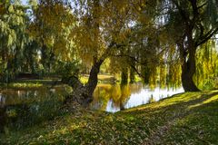 Weeping willows and autumn river with reflections royalty free stock photography