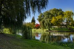 Weeping willows and autumn river with reflections. Tranquil autumn river with reflections of trees with colorful foliage viewed past a osiers branches and leaves royalty free stock photography