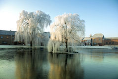 Weeping willows Royalty Free Stock Image