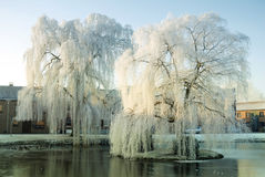 Weeping willows Stock Photography