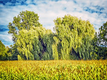 Weeping willows behind a corn field Stock Photos