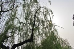 Weeping willows in Beihai Park Royalty Free Stock Photography