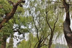 Weeping willows in Beihai Park Royalty Free Stock Image