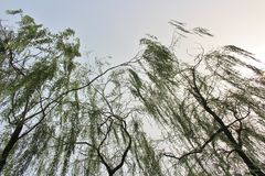 Weeping willows in Beihai Park Royalty Free Stock Photo