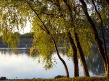 Weeping willows bent to the river in the sunshine Stock Photo