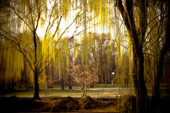 Weeping Willows. In Park Garden Stock Image
