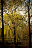 Weeping Willows Royalty Free Stock Photos