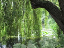 Weepy willow tree on water. A graceful weeping willow tree above a lake in Cambridge royalty free stock images