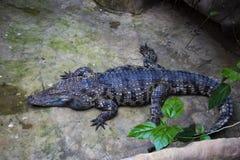 Weergeven die van een volwassen krokodil op bovenkant, dichtbij de installaties liggen royalty-vrije stock foto