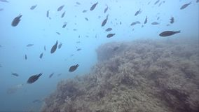 Weergeven op school van vissen en ertsaders in de Zwarte Zee stock video