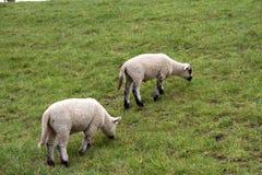 Weergeven op twee kleine witte sheeps die gras op een grasgebied voeden onder een bewolkte hemel in rhede emsland Duitsland stock foto's