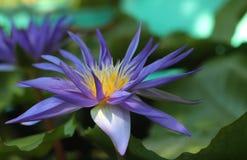 Weergeven purpere lotusbloem 1 royalty-vrije stock foto