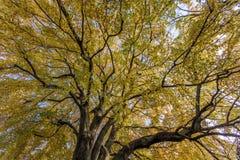 Weergeven in treetop van een grote herfstboom stock foto