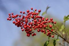Weergeven van boomtak met rode bessen in de de lentetuin royalty-vrije stock afbeelding