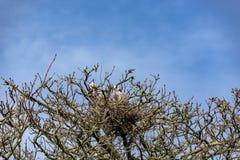 Weergeven van de bovenkant van een boom, in de vroege lente, waarin een reigerpaar de bezige bouw een nest voor de het aankomen e stock afbeeldingen