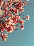 Weergeven van de mooie bloeiende roze takken van de magnoliaboom tegen duidelijke blauwe hemel royalty-vrije stock foto's