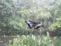 Weergeven van een blauwe menelaus van Morpho van de morphovlinder in het bos stock foto's