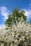Weergeven van een bloeiende kersenboom en een berk in de lente royalty-vrije stock afbeelding