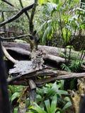 Weergeven van een ocelot op boom dichtbij La Paz Waterfall Gardens Nature Park in Costa Rica stock foto