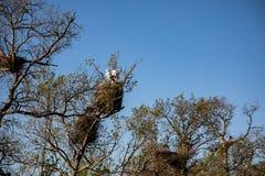 Weergeven van een volwassen ooievaar in zijn nest met heldere blauwe hemel stock foto's