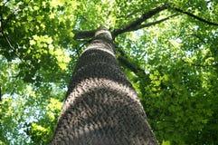 Weergeven van esdoornboom van bodem tot bovenkant royalty-vrije stock afbeelding