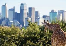 Weergeven van giraf die de horizon van Sydney bekijken - beeld stock afbeelding