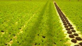 Weergeven van groene installaties in serre, sla, basilicum, dille enz. stock videobeelden