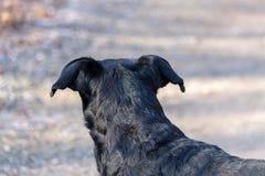 Weergeven van het achterhoofd van een Appenzeller-Berghond stock foto