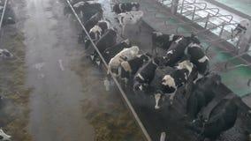 Weergeven van hierboven van een byre met vee wordt gevuld dat stock footage