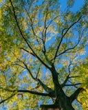 Weergeven van luifel van bomen met groene en gele de herfstbladeren op takken tegen duidelijke blauwe hemel royalty-vrije stock afbeeldingen