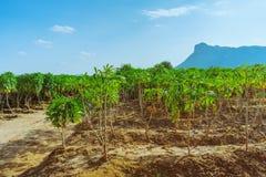Weergeven van maniokgebied royalty-vrije stock afbeeldingen