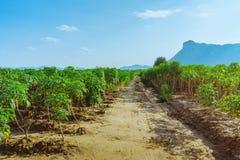 Weergeven van maniokgebied royalty-vrije stock foto's