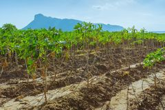 Weergeven van maniokgebied royalty-vrije stock foto