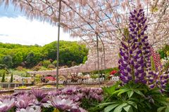 Weergeven van mooie de bloesembomen en Lupinus van volledige bloeiwisteria en veelvoudig soort bloemen in de lente zonnige dag stock fotografie