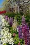 Weergeven van mooie de bloesembomen en Lupinus van volledige bloeiwisteria en veelvoudig soort bloemen in de lente zonnige dag royalty-vrije stock afbeelding