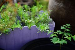 Weergeven van nat Moss Rose Leaves met waterdaling stock fotografie