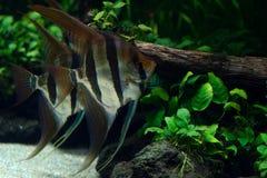 Weergeven van paar van zoetwaterzeeëngel in aquarium stock fotografie