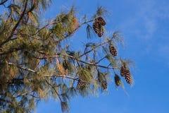 Weergeven van pijnboomtakken en kegels tegen de blauwe hemel stock foto's