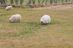 Weergeven van schapen op weiland stock foto