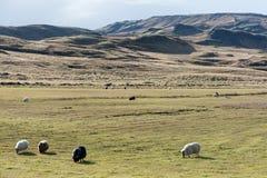 Weergeven van schapen op weiland royalty-vrije stock fotografie