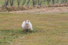 Weergeven van schapen op weiland royalty-vrije stock foto