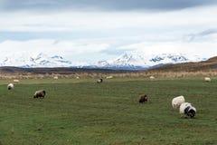 Weergeven van schapen op weiland royalty-vrije stock afbeelding