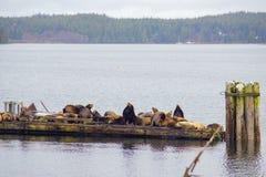 Weergeven van wilde stellaire zeeleeuwen door de oceaan in Ucluelet, het Eiland van Vancouver, Canada royalty-vrije stock fotografie