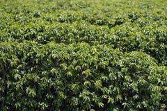 Weergevenlandbouwbedrijf met de bebouwing van de koffieaanplanting stock afbeeldingen