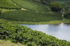 Weergevenlandbouwbedrijf met de bebouwing van de koffieaanplanting royalty-vrije stock foto's