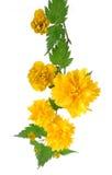 Weerhaak van japonica Kerria het bloeien stock afbeelding