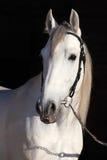 Weerhaak wit paard Royalty-vrije Stock Fotografie