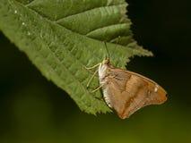 Weerschijnvlinder de Kleine, Lesser Purple Emperor imagens de stock